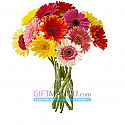 You are the Colors of My Life - 12 Colorful Gerbera